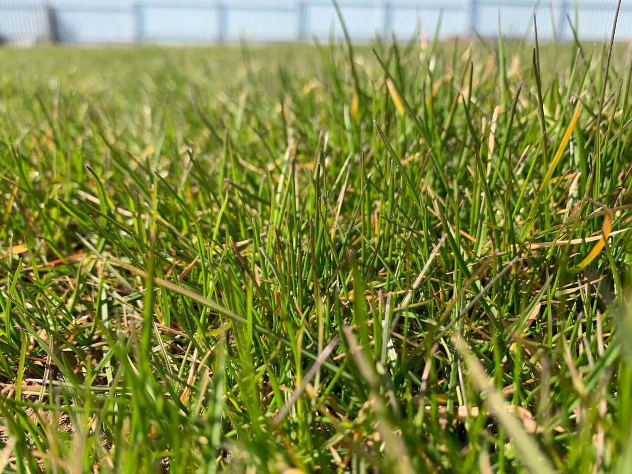 Низкорослый (карликовый) газон слайдер 1