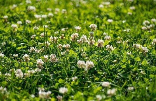 Семена газона из клевера слайдер 1