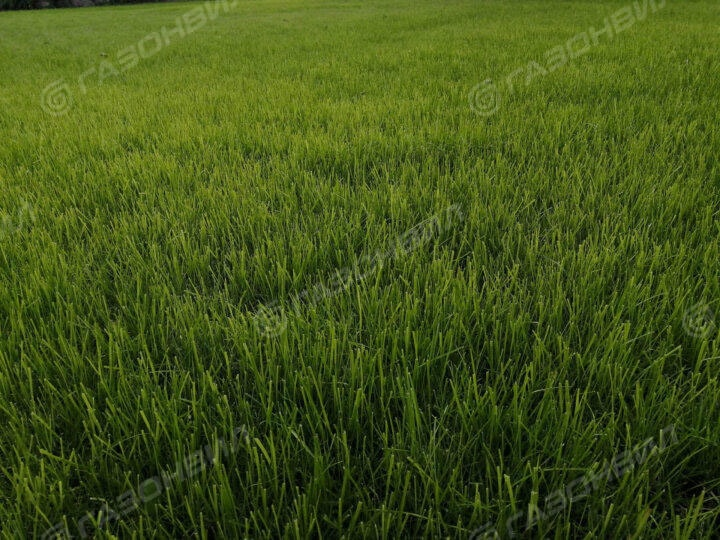 Теневыносливый рулонный газон