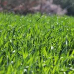 Быстрый газон